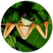 froggu.png